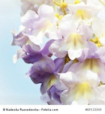 Blauglockenbaum Paulownia tomentosa 200 Samen