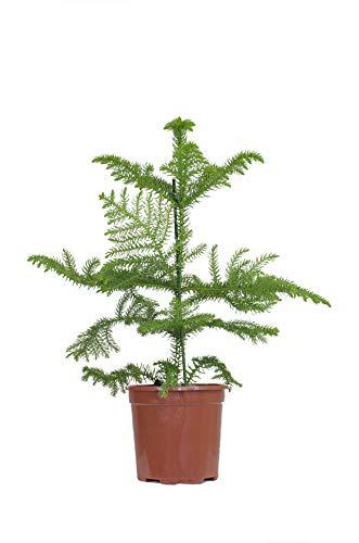 """Inter Flower -Zimmertanne,Araukarie\""""Heterophylla\"""",Norfolktanne 40-50cm+/-"""