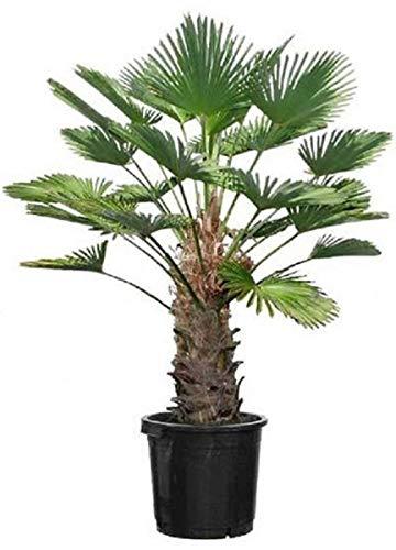 Seltene Trachycarpus Wagnerianus Hanfpalme bis 150 cm Höhe Frosthart bis -19 Grad