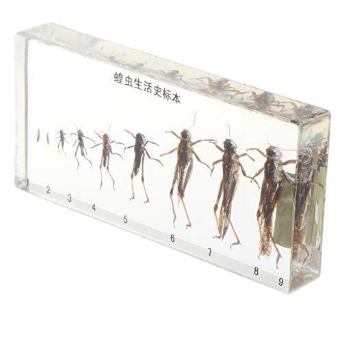 Homyl Harz Briefbeschwerer mit echtem Tier / Insekt / Pflanze, eingebettet mit klarem Hintergrund, Biologie Wissenschaft Proben Lernspielzeug - Lebenszyklus der Heuschrecke (Lebenszyklus Der Pflanzen)