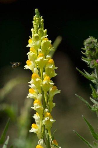 JustSeed Echtes Leinkraut/Linaria vulgaris, Britische Wildblume, 1.400Samen
