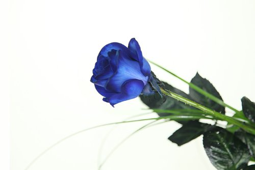Blaue Rose – Basic