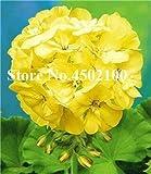 Bloom Green Co. Bonsai Geranium 100 Stück Japanischer Gelb Ppleblossom Rosebud Pelargonium blühende Geranien Balkon Seedssplant Für Hausgarten: 5
