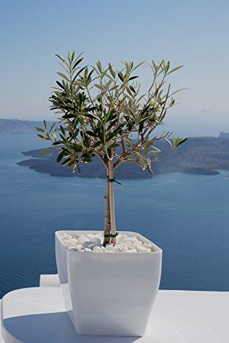 Olivenbaum, Ölbaum, Olea europaea 5 Samen - Bonsai, Zimmerpflanze