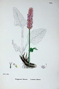 La Botanica Pianta i Fiori di Poligono della Bistorta C1902
