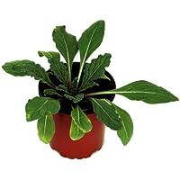 Mandrágora 10cm Planta Natural Mandragora Autumnalis