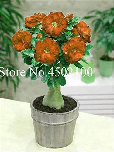 Pinkdose Vero 2 Pz Adenium Obesum Bonsai Esotico Deserto Rosa Bonsai Fiori In Vaso Balcone Multi-Color Petali Piante grasse Semi di piante: 15