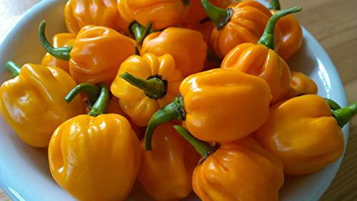 Portal Cool Hot Pepper orange Scotch Bonnet orange Chili Pepper Samen X 10