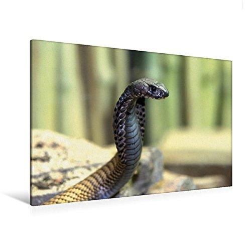 Calvendo Premium Textil-Leinwand 120 cm x 80 cm quer, Gefährliche Schlangen - Arabische Kobra | Wandbild, Bild auf Keilrahmen, Fertigbild auf echter Leinwand. und ewigem Leben Tiere Tiere - Schlange Leinwand