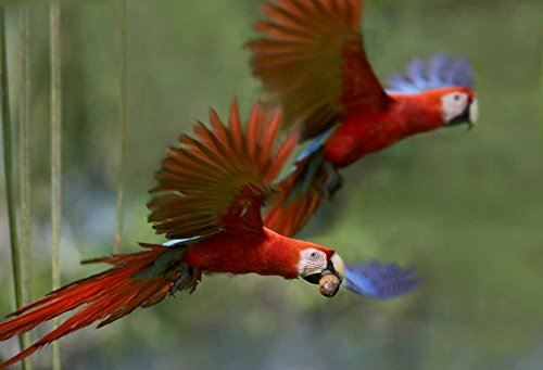 Palm Costa Rica (The Poster Corp Tim Fitzharris - Scarlet Macaw Pair Flying with Palm Fruit Costa Rica Kunstdruck (50,80 x 71,12 cm))