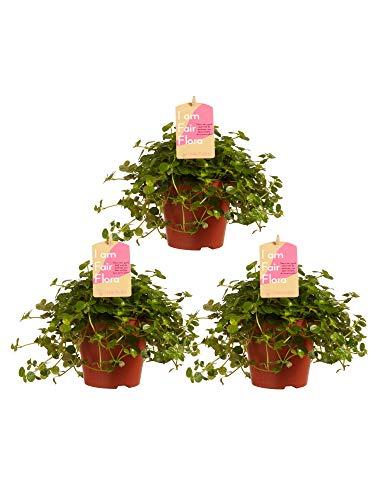 BOTANICLY | 3 × Zimmerpflanze - Kanonierblume | Höhe: 15 cm | Pilea depressa Sao Paulo