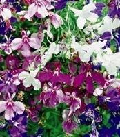 Galleria fotografica Fiore - Kings Seeds - Confezione Multicolore - Lobelia - Pendente Cascade Mix