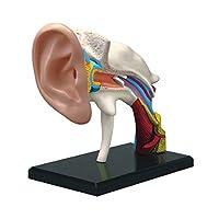 "4D Master 911-0005 Famemaster 4D-Vision Human Ear Anatomy Model, Multi-Colored, 10"""