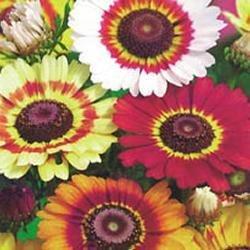 Galleria fotografica Fiore - Kings Seeds - Confezione Multicolore - Crisantemo Arcobaleno