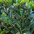 Löffel Ilex Dark Green 20-25cm - Ilex crenata von Baumschule bei Du und dein Garten