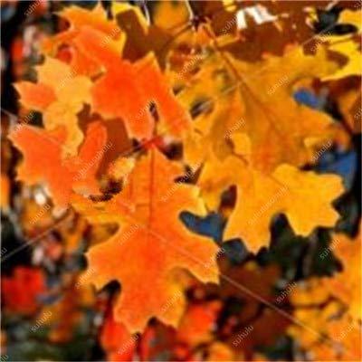 sanhoc 10 pezzi quercia rossa americana bonsai quercus albero perenne piante legnose cortile decorazione per l'impianto di giardino di casa, facile piantare: 4