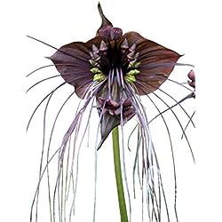 "Schwarze Fledermausblume""Black-Bat-Flower"" - Tacca chantrieri *10 Samen* >Teufelsblume<"