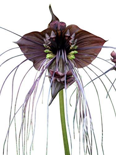 "Schwarze Fledermausblume\""Black-Bat-Flower\"" - Tacca chantrieri *10 Samen* >Teufelsblume<"