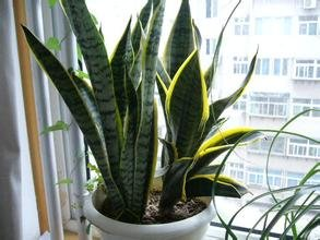 Mother-in-law, graines de Sansevieria bon marché, balcon en pot de fleur, Sansevieria pot graines de plantes -20seeds / sac