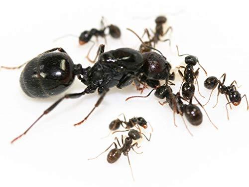 ANTSTORE Messor barbarus (Körnersammler) - Ameisenkolonie mit Königin