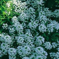 JustSeed Blume Steinkraut Teppich der Schnee 1000 Samen