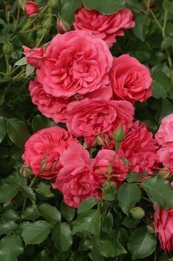 Kletterrose 'Rosarium Uetersen' -R- A-Qualität Wurzelware von Rosen-Union - Du und dein Garten