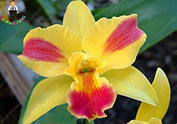 VISTARIC 9: 100 Pcs vrai Cactus Seeds, Mini Cactus, Figuier, Succulentes japonais Graines Bonsai Fleur, Plante en pot pour jardin 9