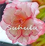 Fash Lady 100 Stücke Bonsai Begonie Samen Hybrida Voss Laternen Blumen Begonie Malus Spectabilis Chinesische Dekorative Bonsai Garten Blumen 4