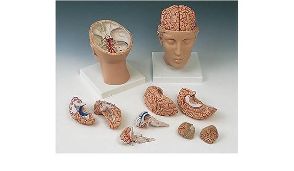 Anatomische Modelle - Kopf & Gehirn - KOPFBASIS MIT GEHIRN 10 TLG ...
