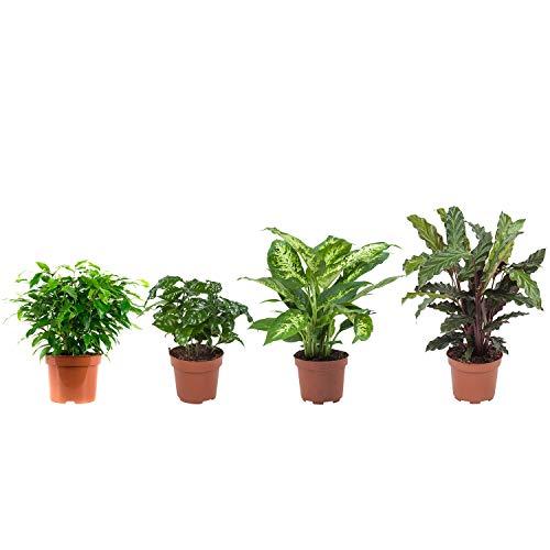 BOTANICLY | Zimmerpflanze | Ficus Green Kinky, Coffea Arabica,Dieffenbachia Compacta, Calathea Rufibarba | 25 cm | Set aus 4 Pflanzen