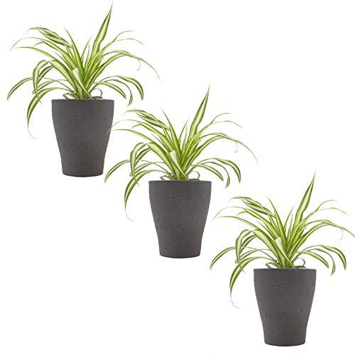 """Grünlilien-Trio mit Keramik-Blumentopf """"Orchid umber"""" von Scheurich - 3 Pflanzen  und 3 Deko-Töpfe"""
