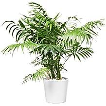 EVRGREEN Bergpalme | Zimmerpalme | Zimmerpflanze in Hydrokultur | im Set inkl. Keramiktopf (weiß) | Chamaedorea Elegans