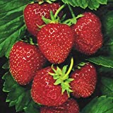 SeeKay Strawberry ' Temptation' Basket type - 20 seeds