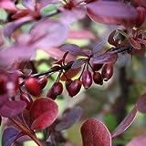 Rote Heckenberberitze - Berberis thunbergii 'Atropurpurea - Gute Heckenpflanze