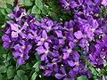 Clematis 'Jackmanii' - Winterharte Schlingpflanze von Baumschule - Du und dein Garten