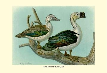 Comb or Knob-Billed Ducks 28x42 Giclee on Canvas by Buyenlarge -