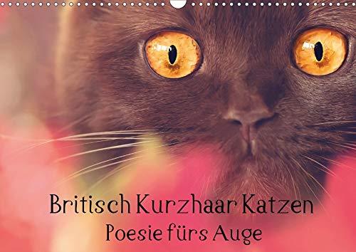 Britisch Kurzhaar Katzen - Poesie fürs Auge (Wandkalender 2020 DIN A3 quer)