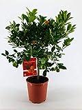 FloraStore - Citrus Citrofortunella Microcarpa sur tige (1x), Hauteur70 CM, Pot Ø 21 CM, Plante d'Intérieur