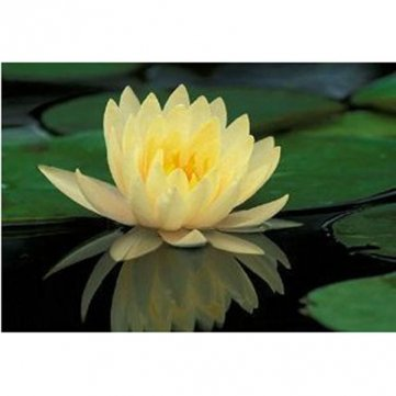 Qualité 10pcs Yellow Water Lily Seeds