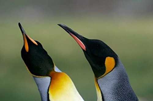 The Poster Corp Jaynes Gallery/DanitaDelimont - South Georgia Island Gold Bay King penguins Photo Print (86,36 x 57,33 cm)