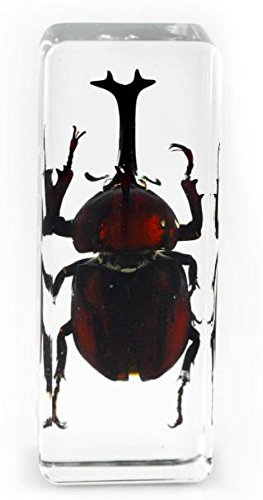 real-japanese-rhinocerous-beetle-insect-paperweight-specimen-large-block