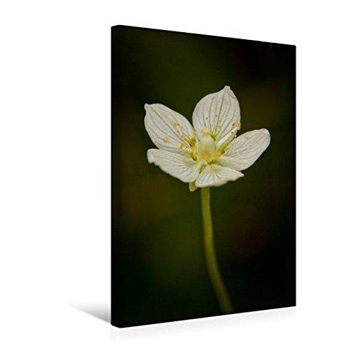 Premium Textil-Leinwand 30 cm x 45 cm hoch, Sumpfherzblatt | Wandbild, Bild auf Keilrahmen, Fertigbild auf echter Leinwand, Leinwanddruck (CALVENDO Natur)