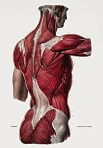 ML25 Vintage 1800's Medical Human Back Upper Body Muscles Anatomical Anatomy Poster Re-Print Reproduction Print Card - A5 (148mm x 210mm) by Affiche Prints