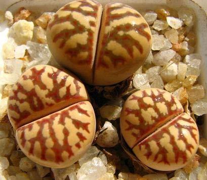 Shoopy Star Usambaraveilchen Pflanze - Lil Glimpe o'pring