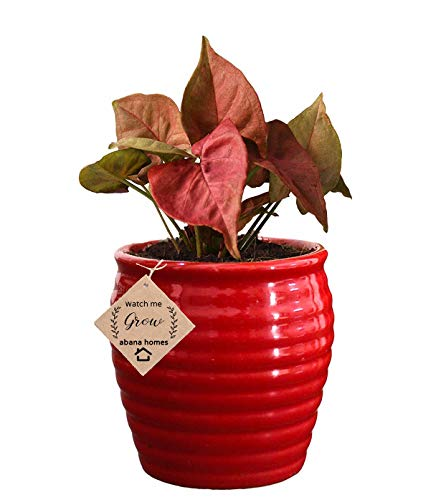 Air Purifying Plants Syngonium Mini Indoor Plant in Beautiful Red Pot