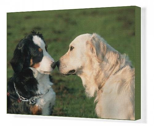 canvas-print-of-dogs-bernese-mountain-dog-and-golden-retriever-sniffing-each-others-nose