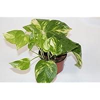 Potos de colgar (Maceta 10,5 cm Ø) - Planta viva de interior