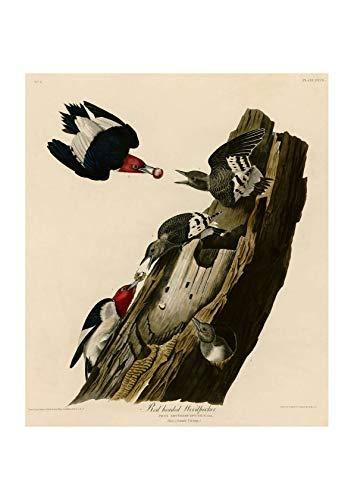 Spiffing Prints John James Audubon - Red Headed Woodpecker - Large - Matte - Framed -