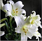 AGROBITS Calla-Lilien-Bonsai Topf Balkon Pflanze Calla Can Strahlungsabsorption Mischfarben - 20pcs: 23