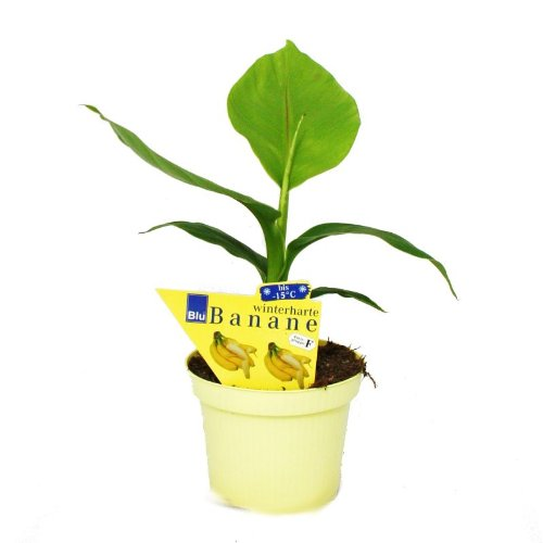 Musa basjoo - Winterharte Banane